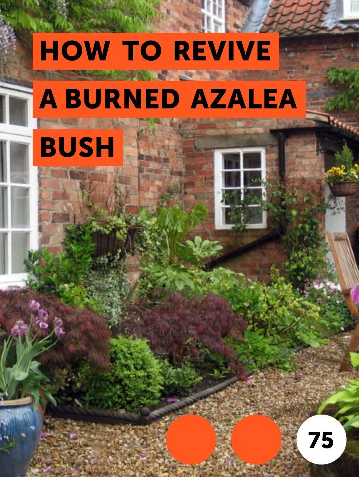 Learn How To Revive A Burned Azalea Bush How To Guides Tips And Tricks Plants Growing Vegetables Monkey Grass