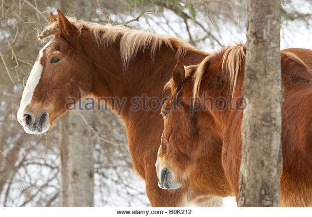 Mammal Horse Transport Ranch Stock Photos & Mammal Horse Transport ...