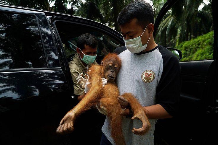 Un pequeño orangután rescatado de una plantación de aceite de palma es trasladado al parque nacional Gunung Leuser, Sumatra, Indonesia (Jeffta Images, 2017)