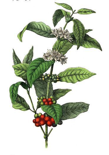 Free Stock Image Coffee Plant! - The Graphics Fairy