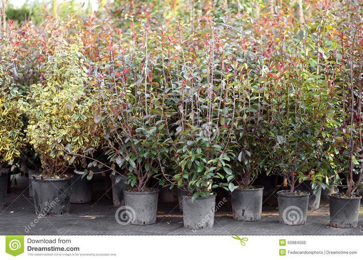 Jasmine Flower Plants For Sale