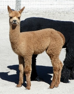 This year we picked patriotic names... This boy's name is American Hero.  We have him in our sales list (http://www.autumnsunalpacas.com/alpacas-for-sale/49650/cria---autumnsuns-american-hero) for a low, low price for now!