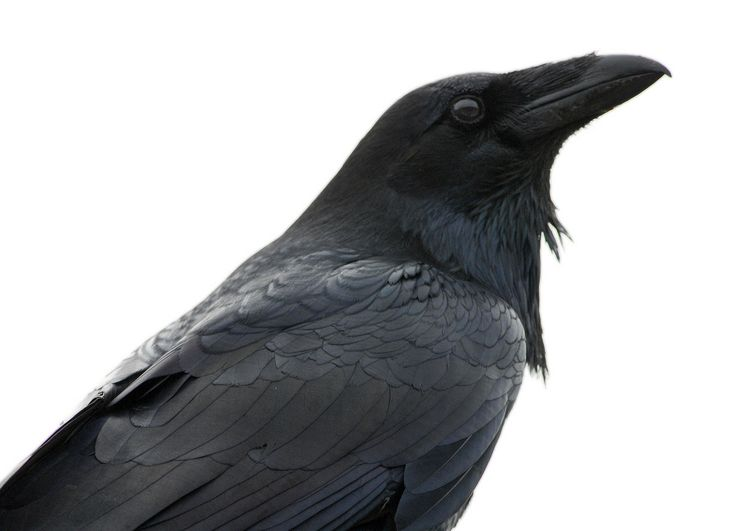 How to Tell a Raven From a Crow:    These black birds may look similar in some ways, but several distinctive traits help set them apart.