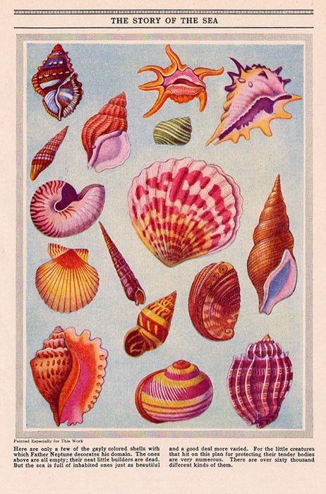 1946 Seashells Illustration Sea Side Cottage Shells Print. $12.79, via Etsy.