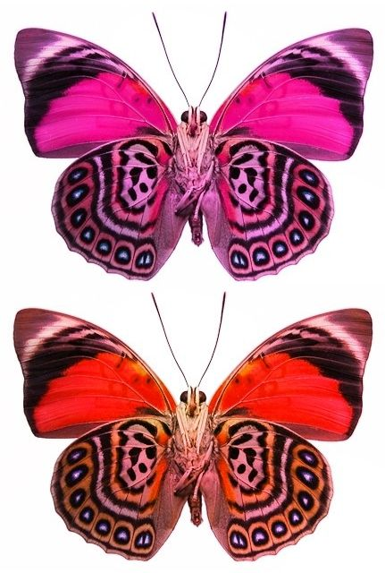 Fake - Pink butterfly - Real image on the bottom, Claudina ...