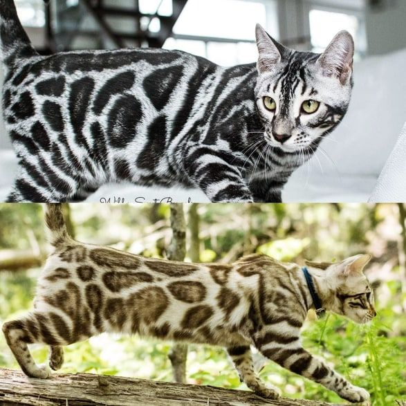 Bengal Kittens Cats For Sale Near Me Wild Sweet Bengals In 2020 Bengal Kitten Bengal Cat Breeders Cats And Kittens