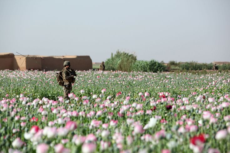 Real reason we are in Afganistan .  How many poppies does it take to make enough morphine, oxys, and codeine for ALL of North America .   There are countless of pictures of soldiers guarding poppy fields in Afganistan