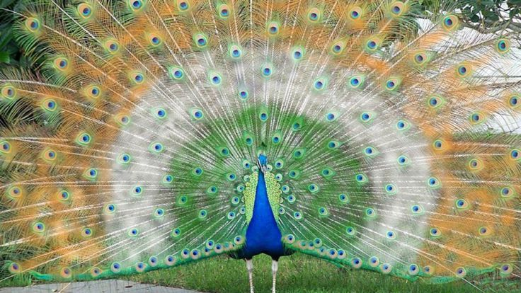 Indian flag color peacock