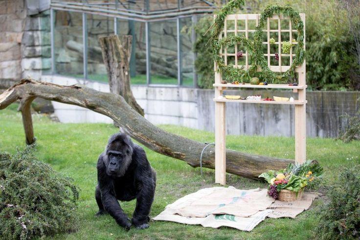 13. April: Die Gorilla-Dame Fatou - der älteste Gorilla Europas, feiert im Zoologischen Garten in Berlin ihren 60. Geburtstag. Fatou lebt seit 58 Jahren in dem Zoo, Ihr genaues Geburtsdatum ist nicht bekannt.
