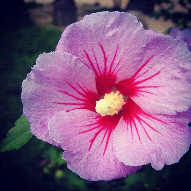 South Korea National Flower | South Korea's National Flower: 무궁화 ( Mugunghwa ) : Rose of ...