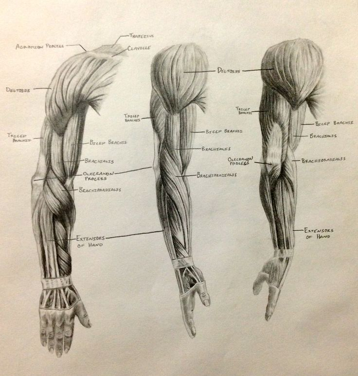 best 25+ arm muscle anatomy ideas only on pinterest | muscles of, Muscles