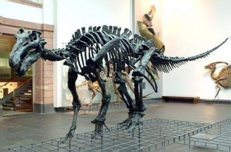 reconstructed skeleton of iguanodon