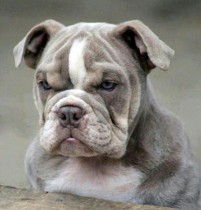 Bulldog   Grumpy dog, Bulldog, Bully dog