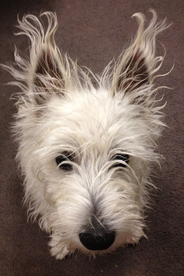 Zoeys Got Some Crazy Ears Today Westies Pinterest Ears