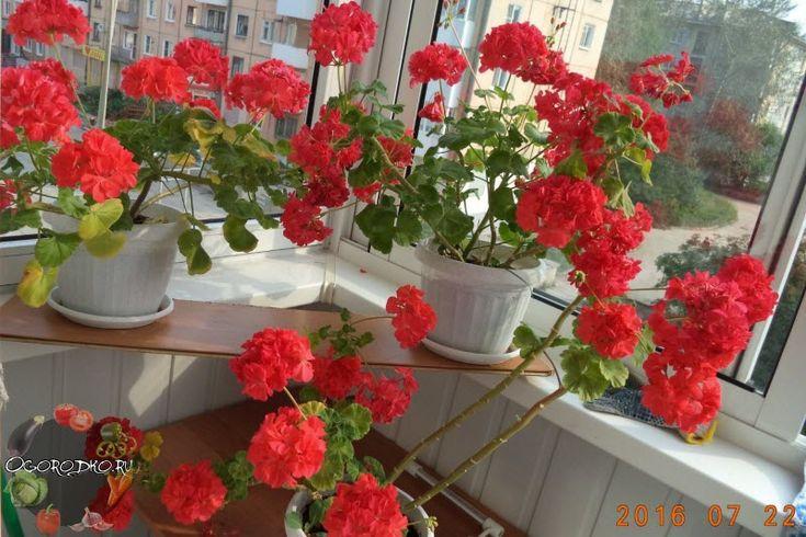 Герань – уход в домашних условиях, способы, как поливать, обрезать цветок, чем подкармливать его и как прищипывать, почему желтеют листья растения и не цветет