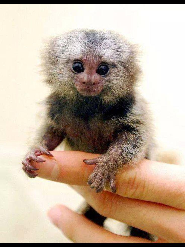Les 25 meilleures id es de la cat gorie petit singe sur pinterest primates un singe et - Petit singe rigolo ...