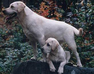 Élevage Lacoutardes Labradors anglais | Album photo