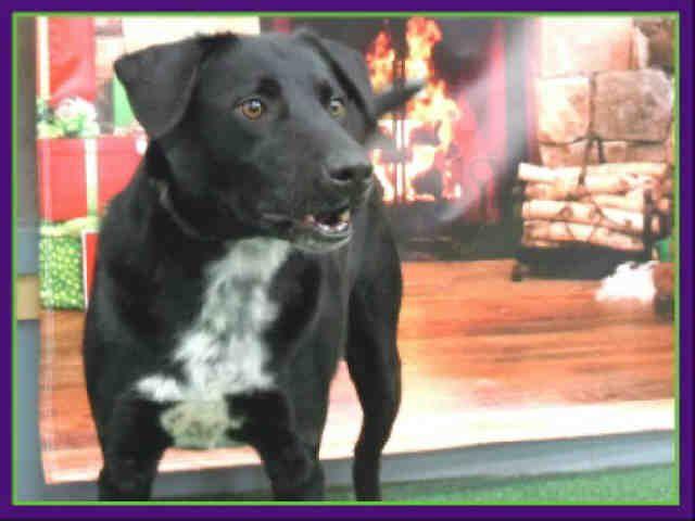JET~ Labrador Retriever Mix • Adult • Male • Large City of Houston, BARC Animal Shelter & Adoptions Houston, TX