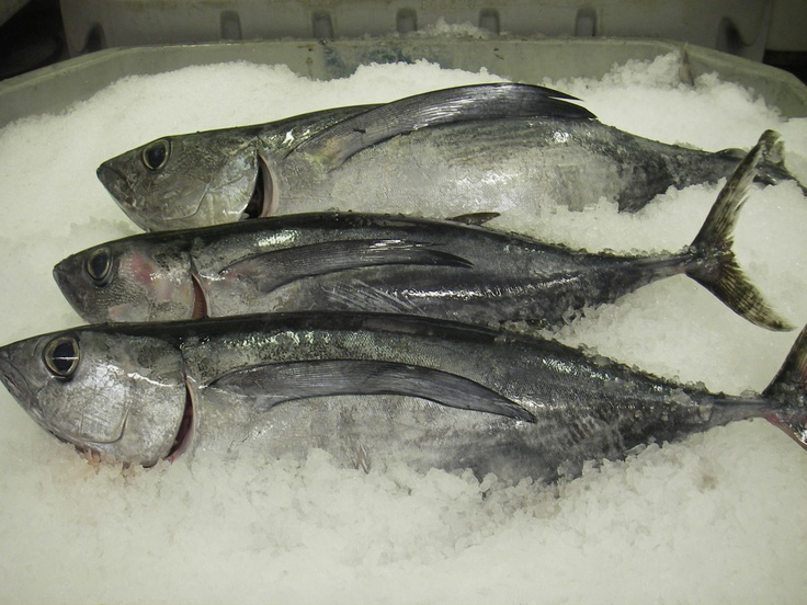 159 best images about tuna fish on pinterest fishing for Tuna fishing oregon