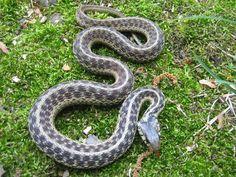 Garter Snake Information & Facts