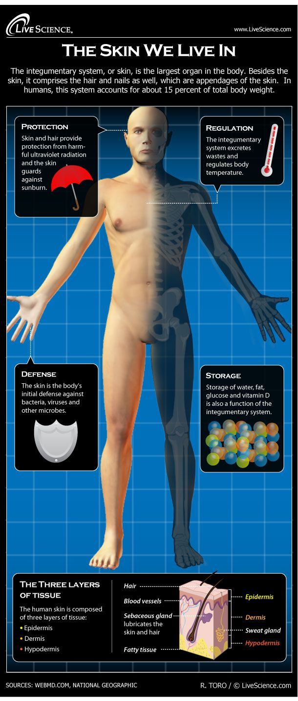 Diagram of the Human Integumentary System (Infographic)