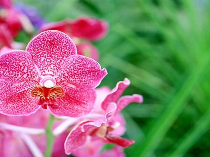 varitaustakuvat - Orkideat: http://wallpapic-fi.com/luonto/orkideat/wallpaper-10175