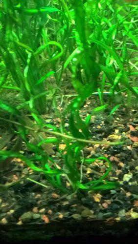Vesuvius-Sword-Echindorus-Vesuvius-easy-live-aquarium-plant-fish-tank-rare