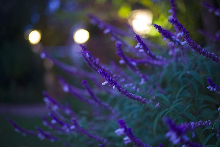 Wild night lavender in the garden at The Last Word, Constantia.
