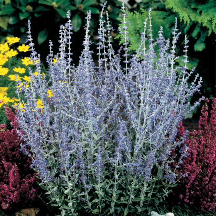 Little Spire Russian Sage  / Plant Full Sun / For Container Plant