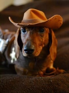 Get-a-long little doggie!: Urban Cowboys, Southern Charms, Pet, Doggies, Baby Dogs, Cowboys Doxi, Wiener Dogs, Animal, Cowgirl Hats