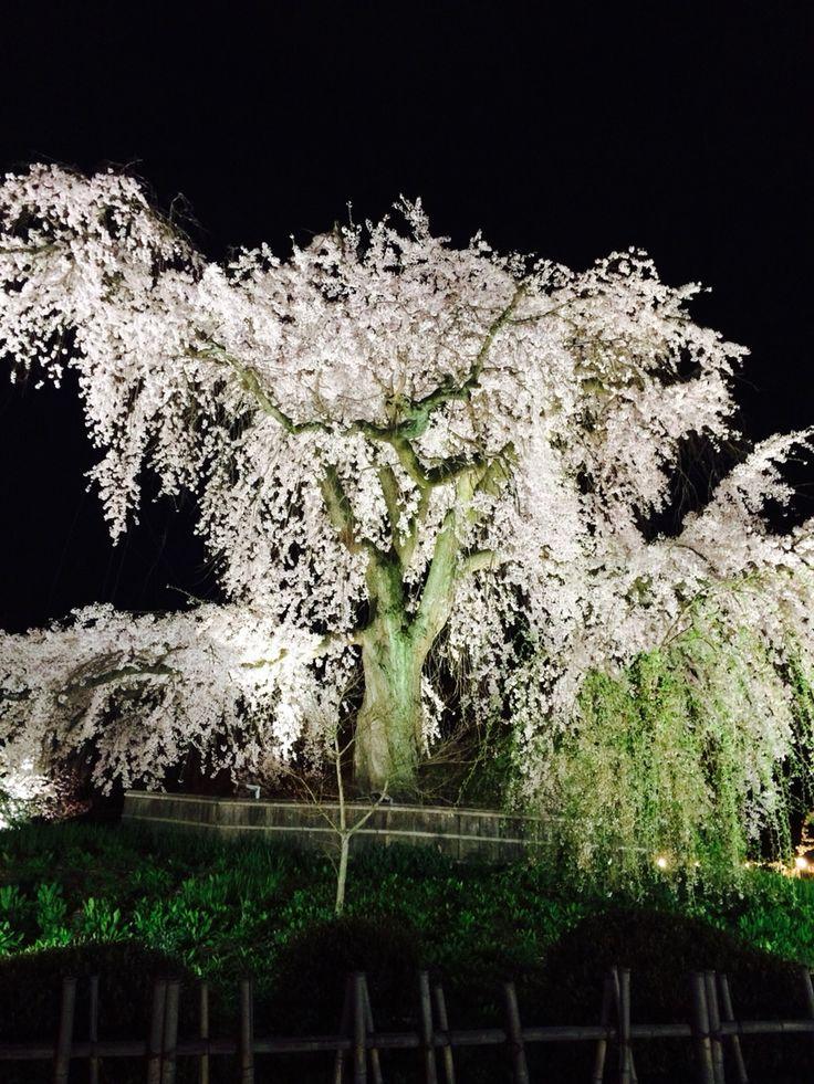 Majestic Tree - Sakura edition