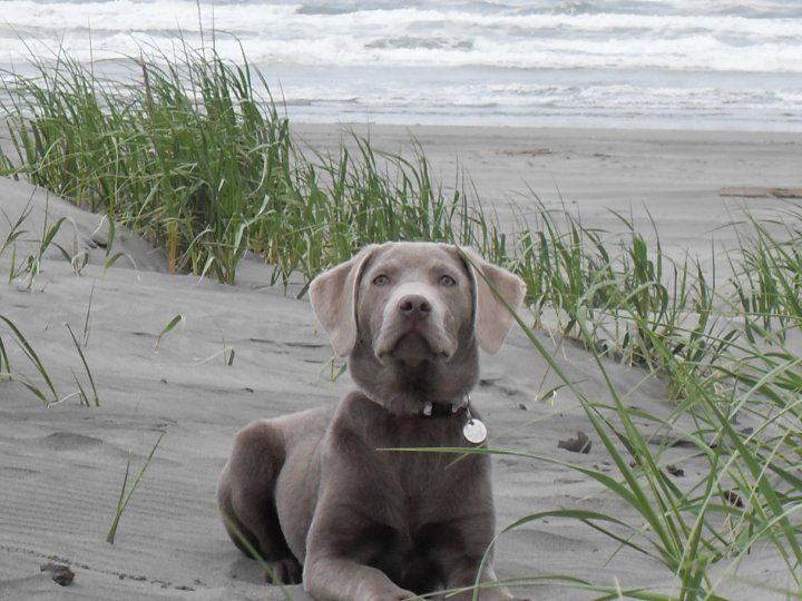 Welcome-to-Silver-and-Gold-Labrador-Retrievers    I highly recommend this place. I got my charcoal lab from them. She is beautiful, smart, and a sweetheart.