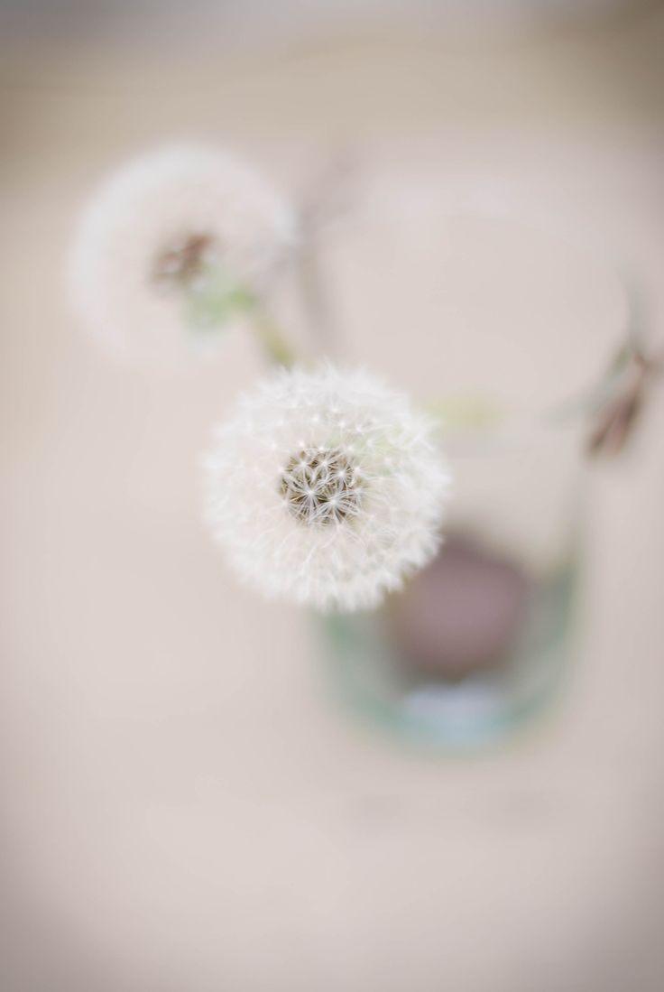 Dandelion Fasciation Just Pritty Pinterest Dandelions and