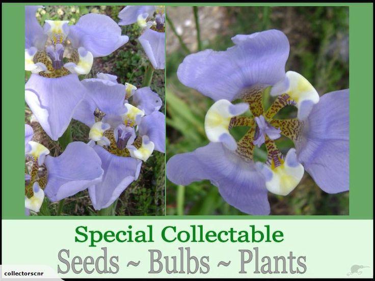 CYPELLA COELESTIS ***Special Rare Seed *** | Trade Me