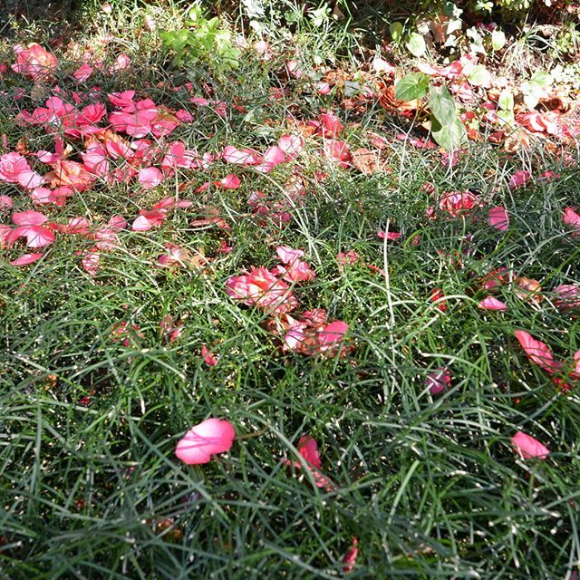 #camellia#villalante#italy#garden#landscape#flower#aureliegueniffey