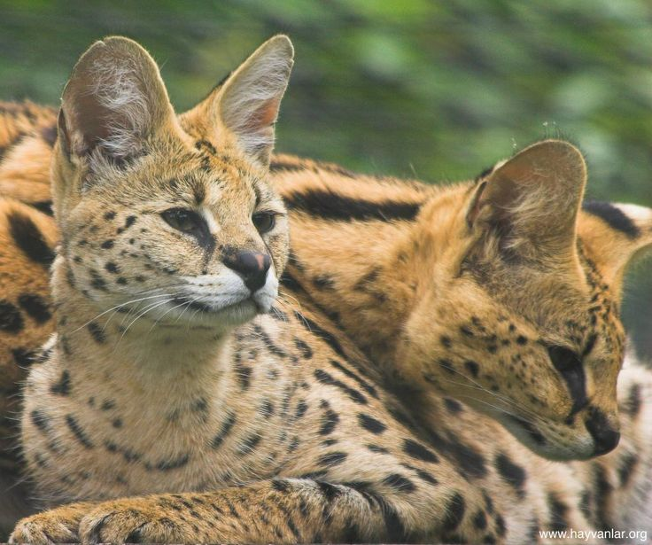 Servals for sale are rare and the first thing to think about are the legalities…