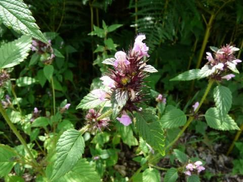 Common Hempnettle: also available in white | The Nature of Dorset