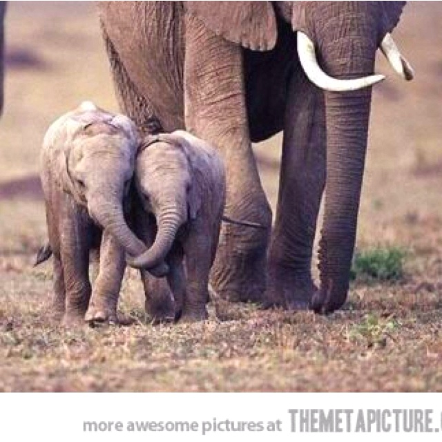 17 Best images about Elephants holding trunks on Pinterest ...