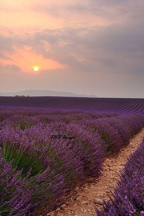 The sunset in lavanda field in Provence