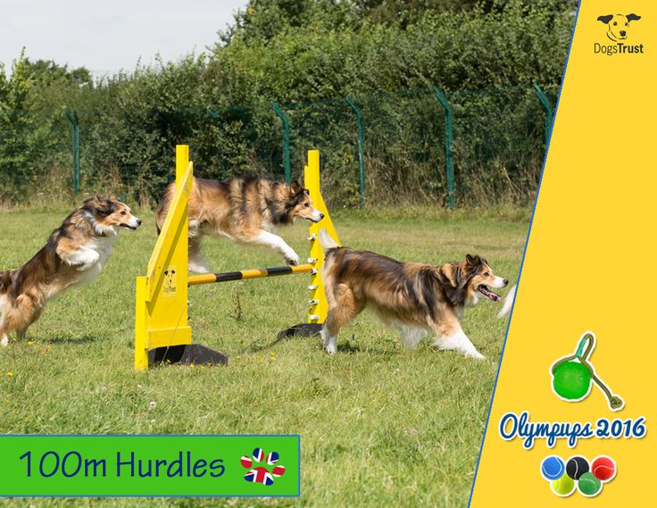 Dogs Trust is celebrating the success of Team GB at the Rio Olympics by putting on their own version of the world's greatest sporting event – the Olympups, to keep their homeless hounds entertained at the Rehoming Centre whilst they await loving homes of their own.