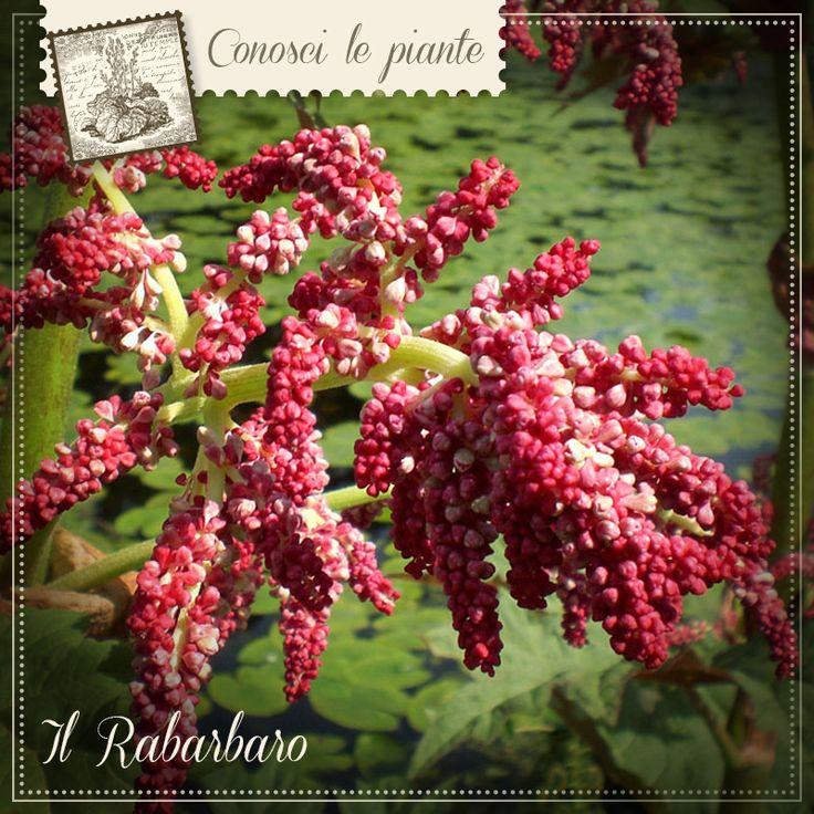 Il #rabarbaro (Rheum palmatum) è una pianta originaria del Tibet e della Cina. La parte usata in #fitoterapia sono le radici e il rizoma che vantano proprietà utili per favorire il transito #intestinale e la #digestione. RABARBARO COMPOSITUM del Dr. Giorgini è un integratore naturale che sfrutta tutte le proprietà di questa pianta, in sinergia con altre. http://www.drgiorgini.it/index.php/serirabcom40-drg-rabarbaro-compositum-40-g-pastiglie