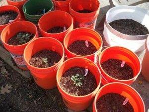 Growing potatoes in a bucket.  Seems pretty easy.