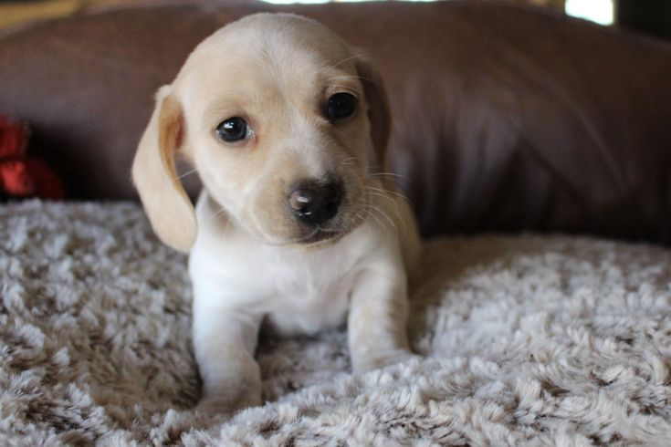Read up on what to expect once you bring home your #dachshund puppy.  – Dachshund