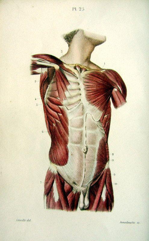 327 Best Muscle Anatomy Images On Pinterest Human Anatomy Anatomy