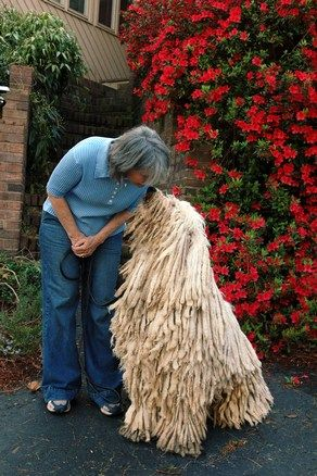"komondor --A large white hungarian breed of livestock guard dog with a long corded coat. The Komondor can weigh 100 lbs and reach 30"" tall.  The Komondor worked with the Puli keeping livestock."