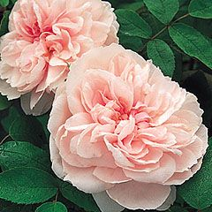 Barbara Austin - David Austin; light pink, double full bloom, medium shrub, hardy, fragrance of old rose and lilac, some repeating, shrubby twiggy plant that is upright then arches. 4ft x 2.5ft
