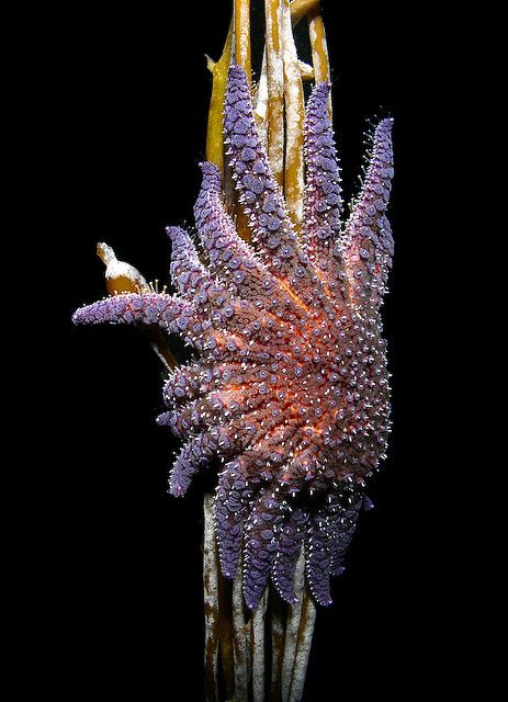 Sunflower Star climbing Kelp