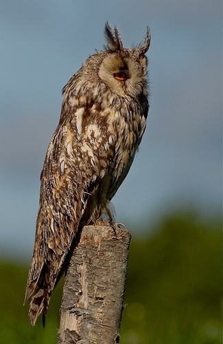 Long-eared owl in the southern Mayenne France.
