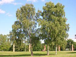 Bříza, Bříza bělokurá,  je rod listnatých stromů nebo keřů z čeledi břízovité (Betulaceae).