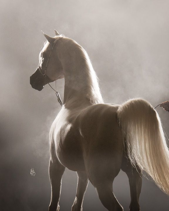 Al Maliik :: Argent Farms LLC :: Distinctive Arabian Horses